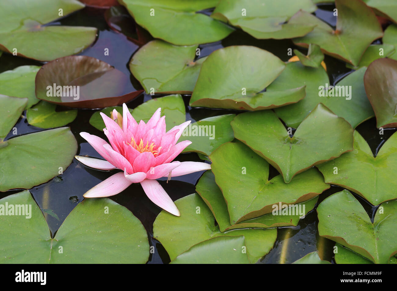Lily Pads In A Pond Stock Photos Lily Pads In A Pond Stock Images