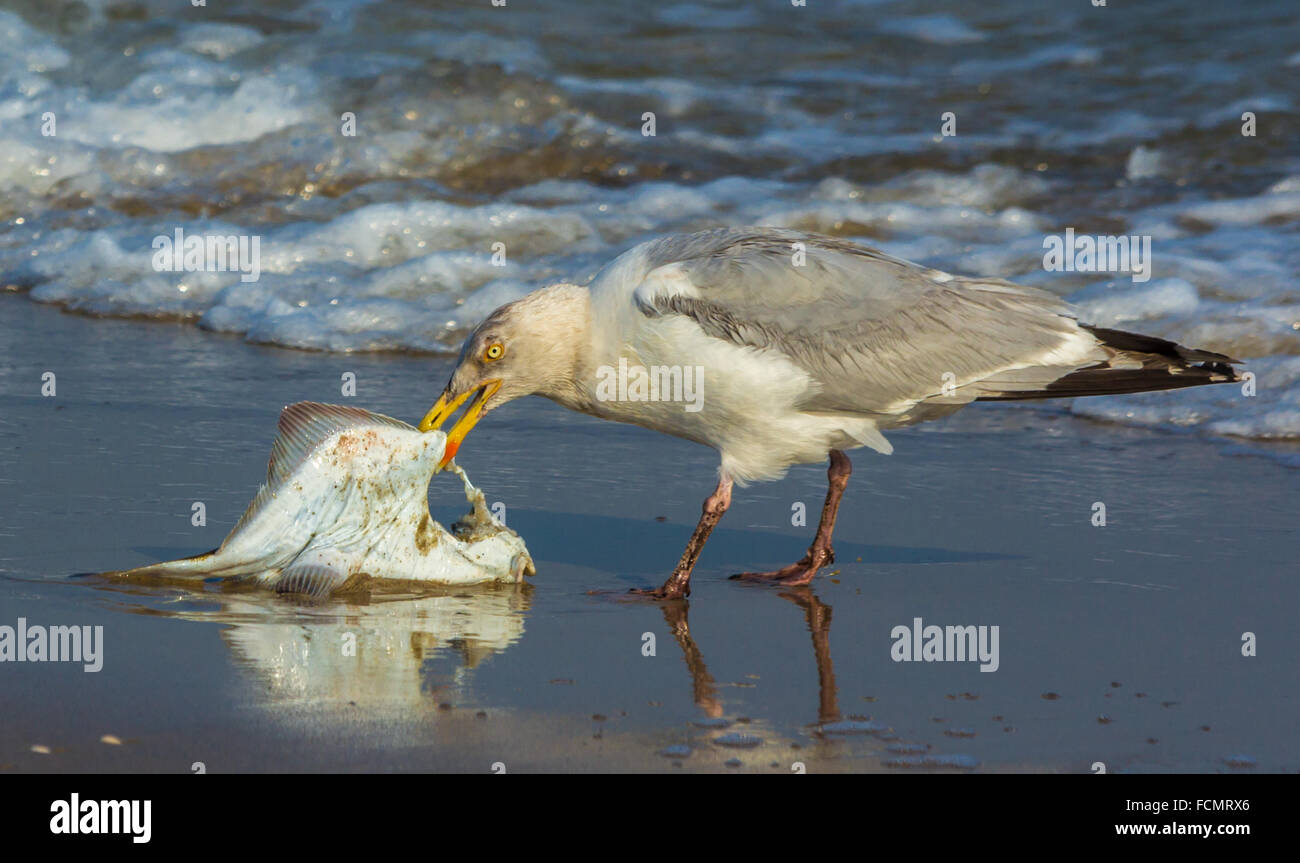 Herring gull eating a flat fish on a beach - Stock Image