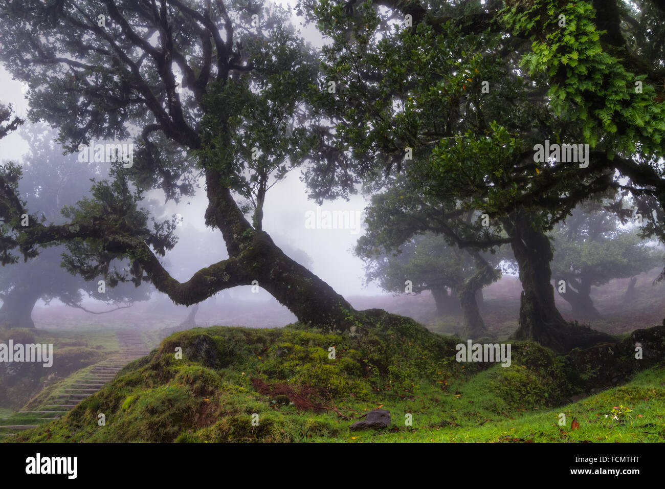 Ancient laurel forest in the fog, Madeira, Portugal - Stock Image
