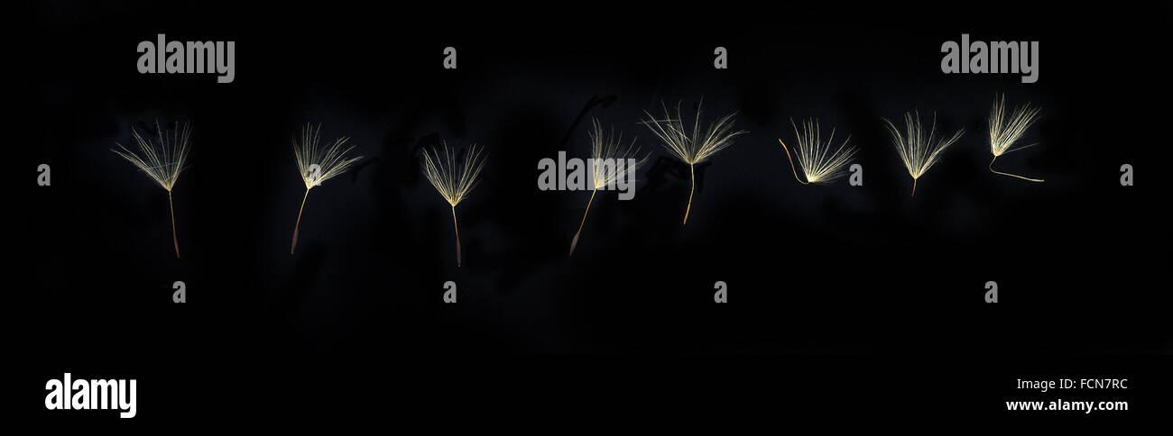 dandelion seeds - Stock Image