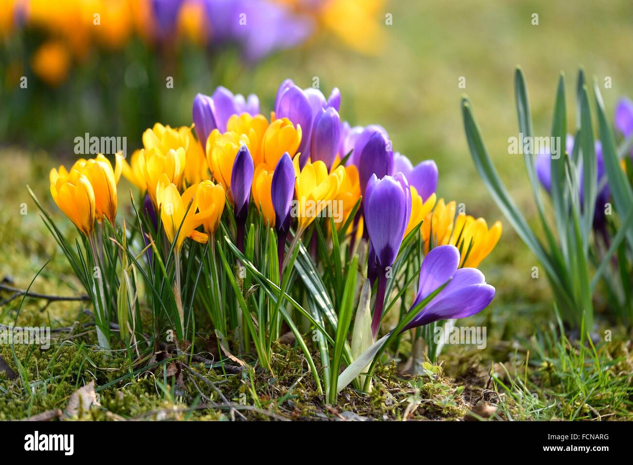 Spring Crocus or Giant Crocus (Crocus cultivars) flowering colourful in spring. - Stock Image
