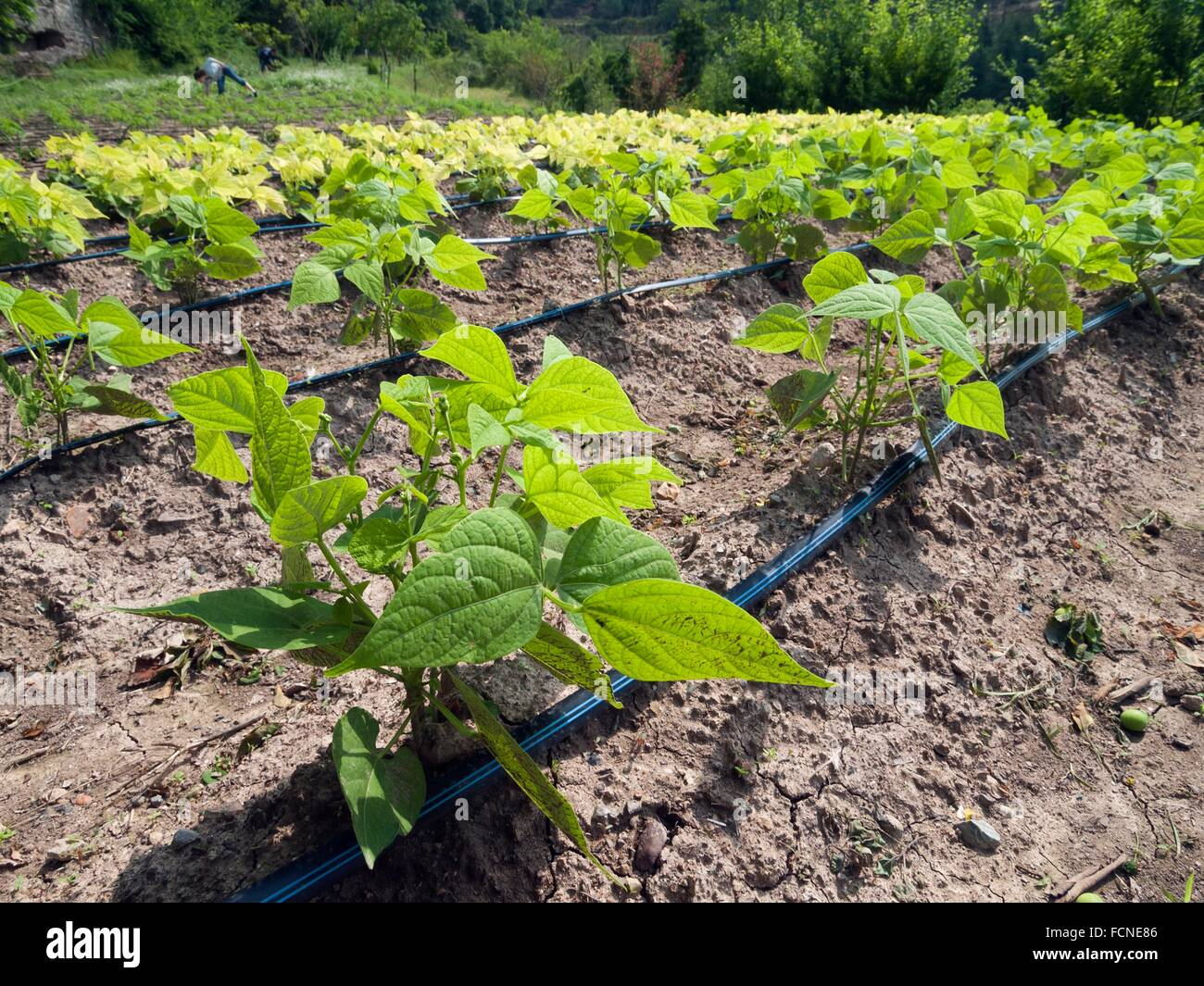 vegetable garden of young green beans with drip irrigation