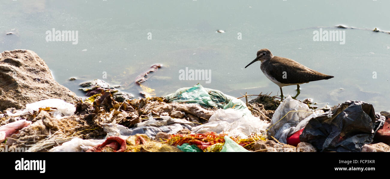 Indian Long-billed Dowitcher, wading in water surrounded by human garbage waste. These birds are struggling to survive - Stock Image