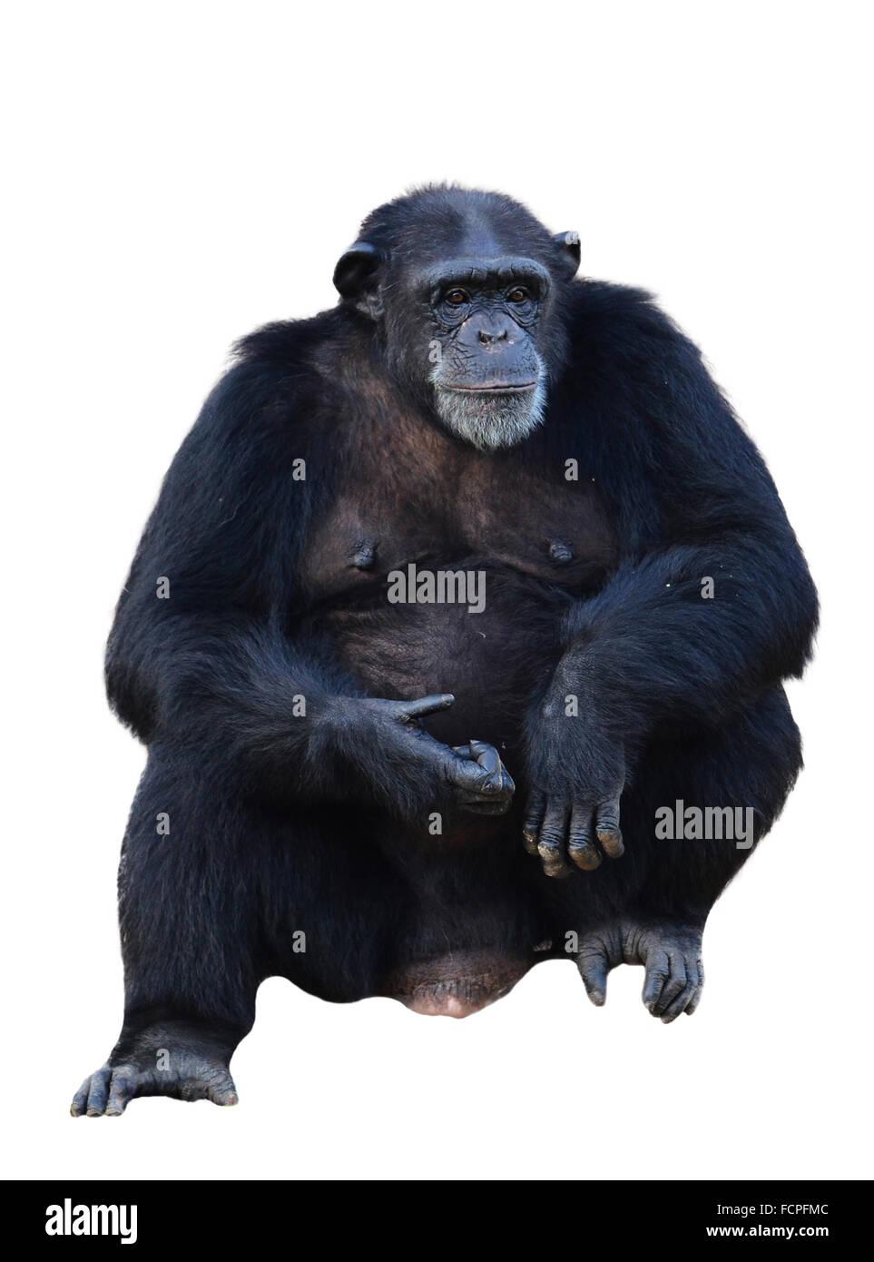 chimpanzee, simia troglodytes isolated on white background - Stock Image