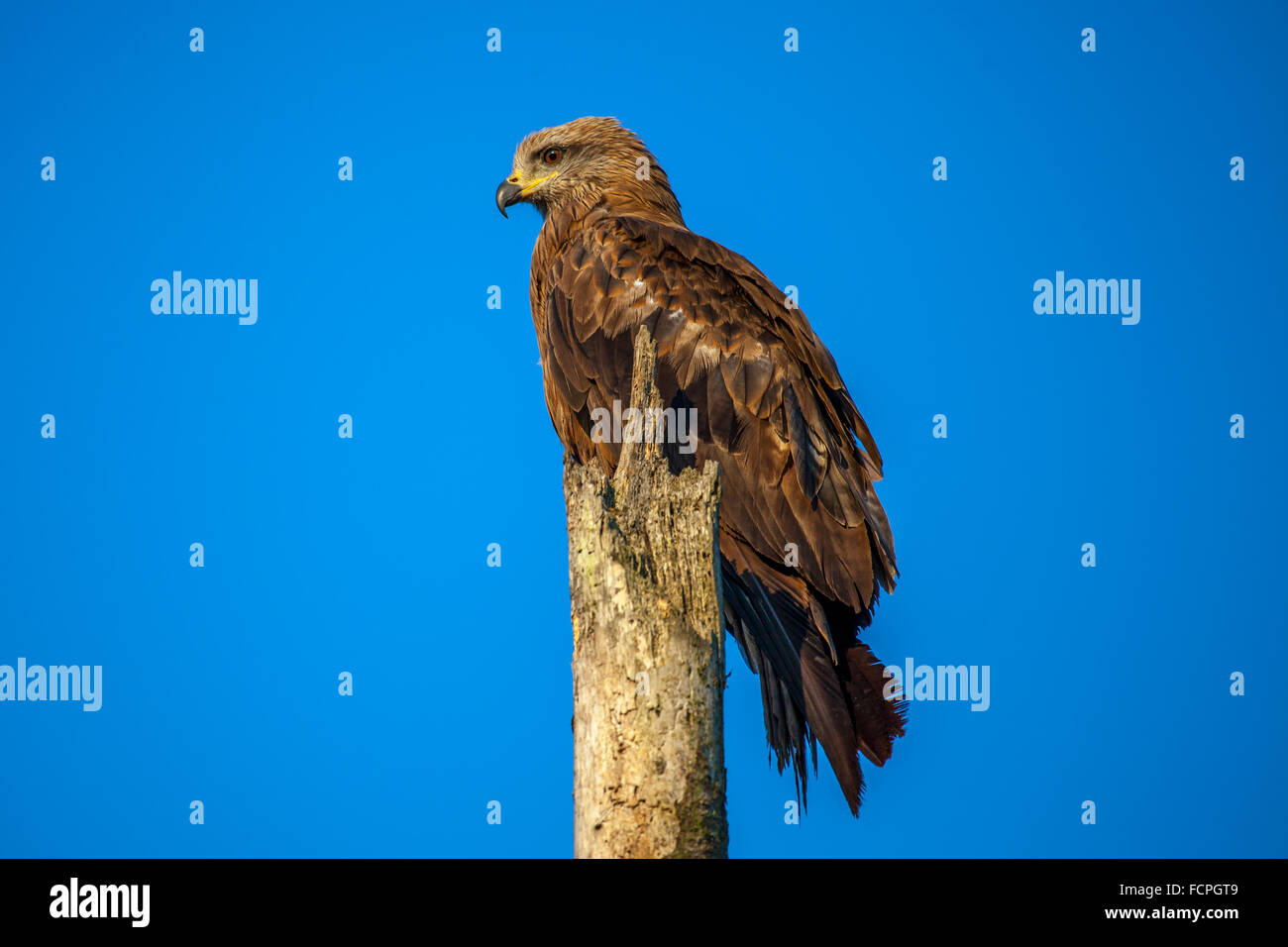 Kite (Milvus migrans) - Stock Image