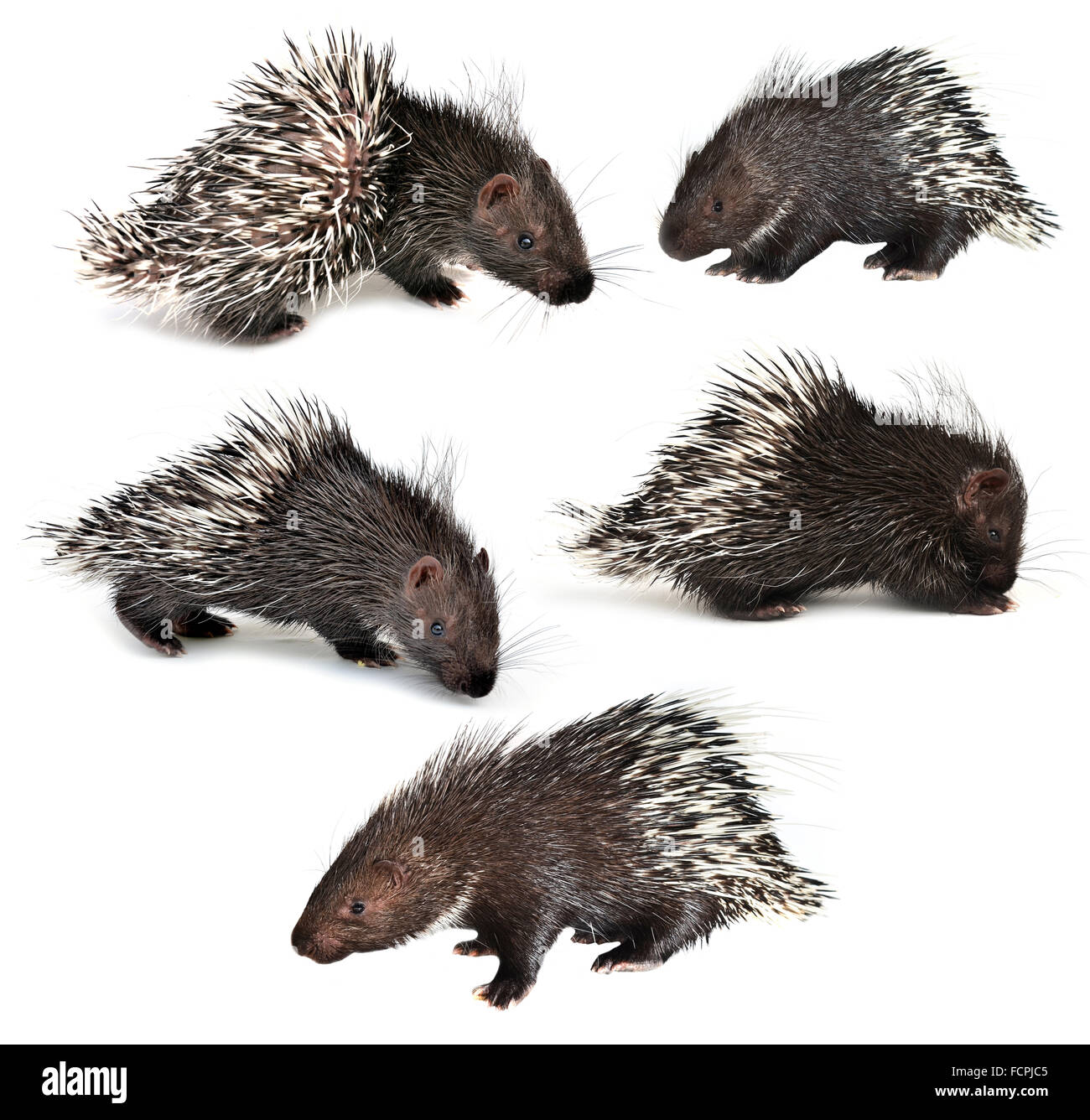 collection of porcupine isolated on white background - Stock Image