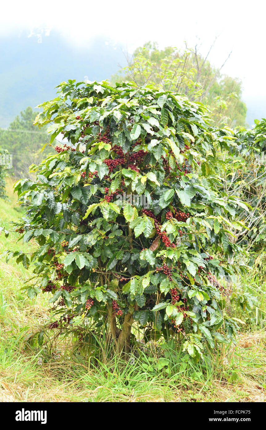 Coffee Bean Tree High Resolution Stock Photography And Images Alamy