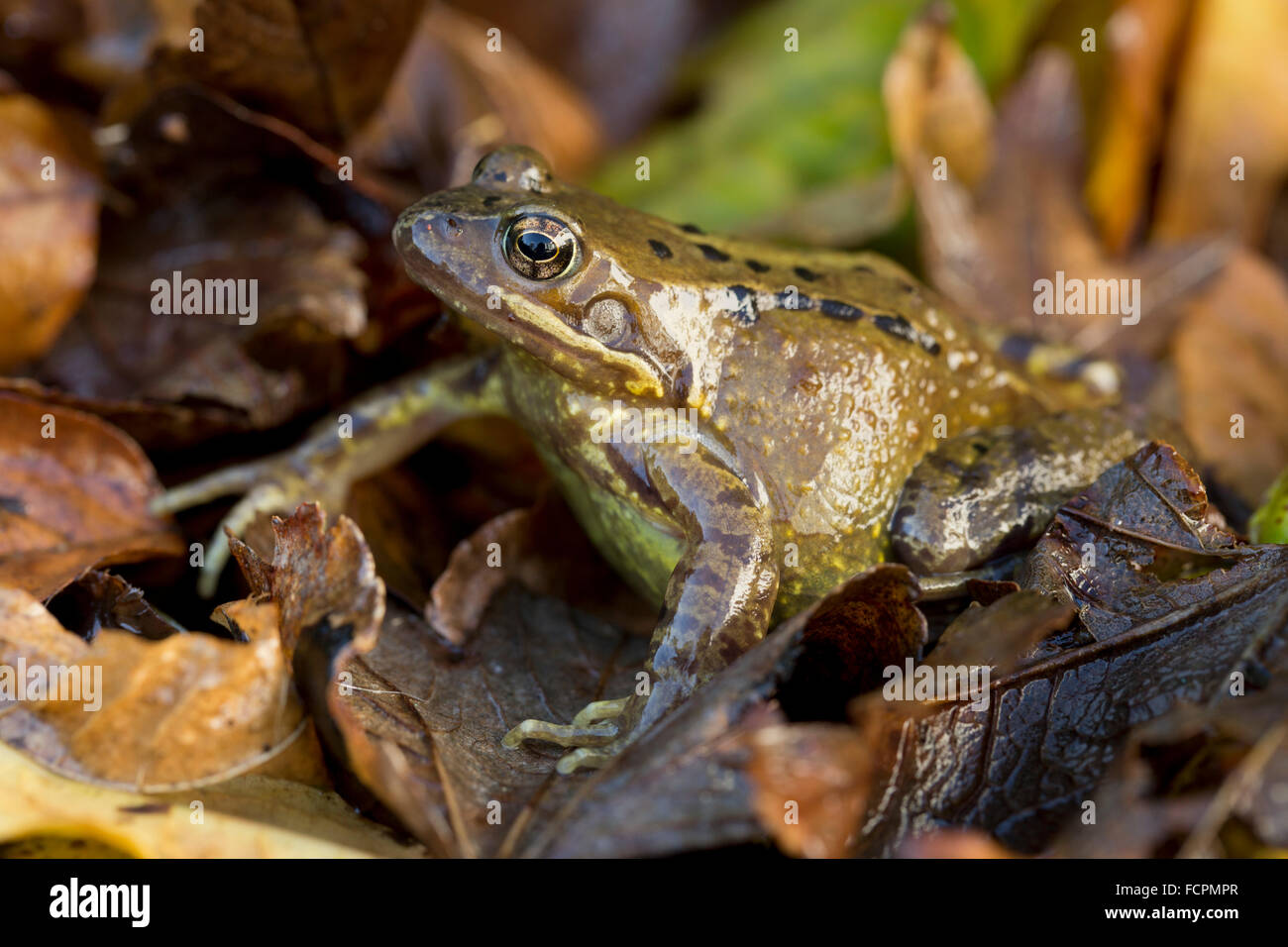 Common Frog; Rana temporaria Single with Autumn Leaves; Cornwall; UK - Stock Image