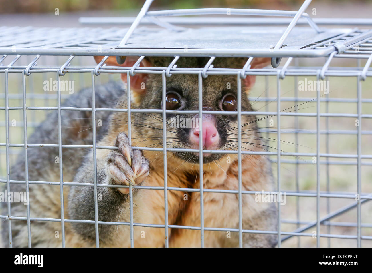 A Brushtail Possum Is Caught In A Cage As A Trap In Melbourne Stock Photo Alamy