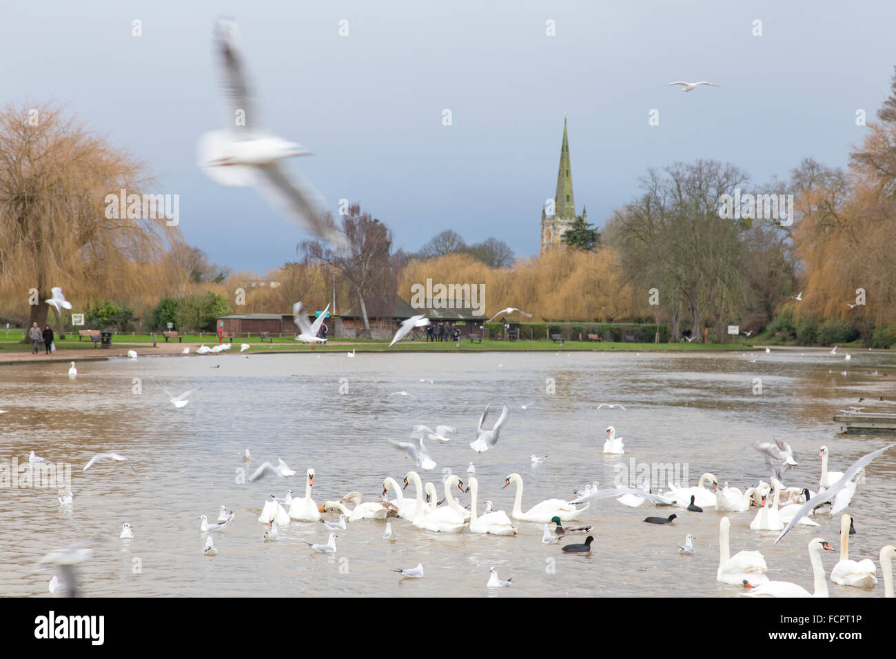 Seagulls and Swans on the River Avon at Stratford upon Avon, Warwickshire, England, UK - Stock Image