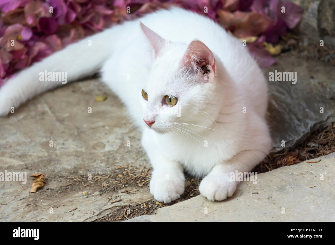 White Cat - Stock Image