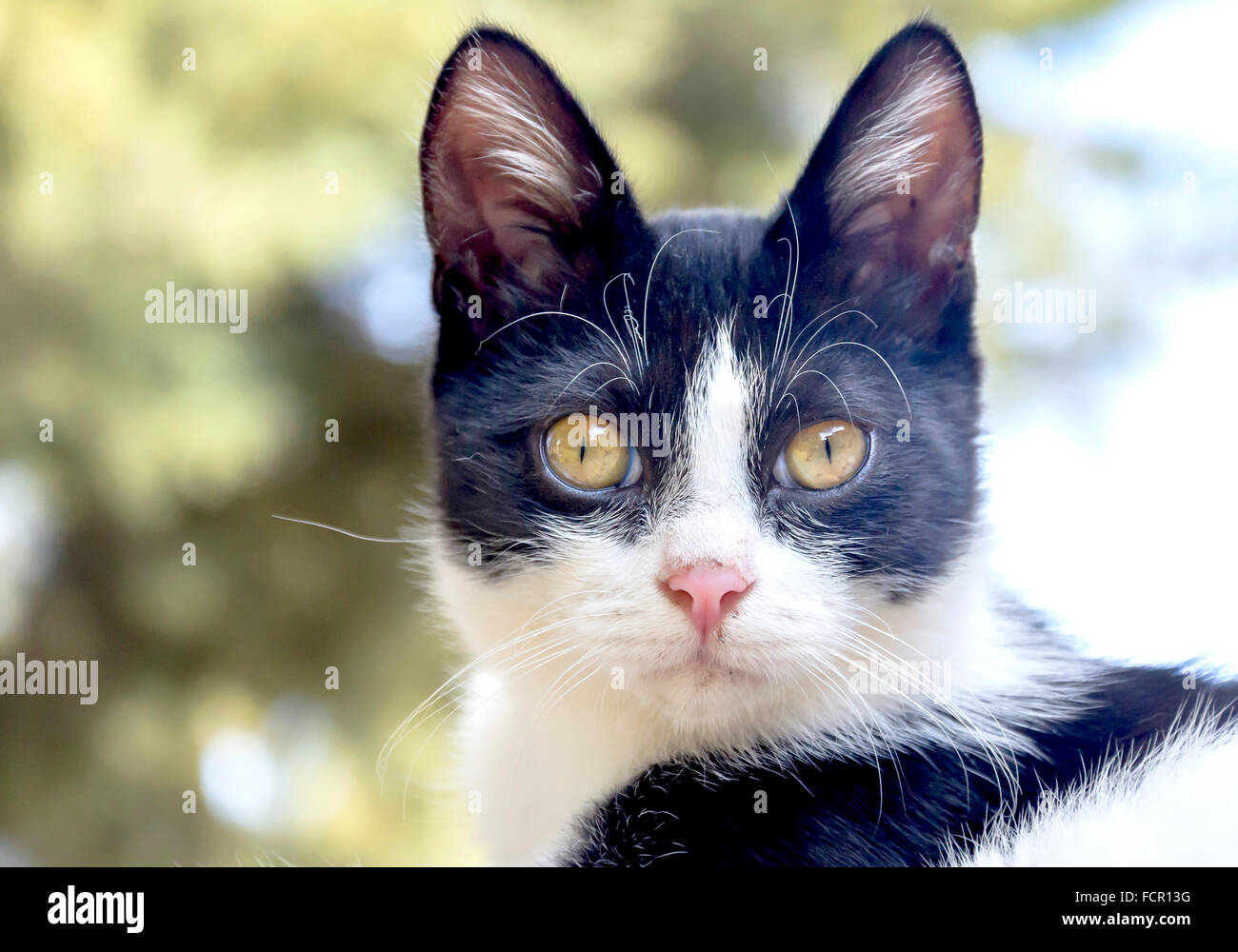 Black And White Cat - Stock Image