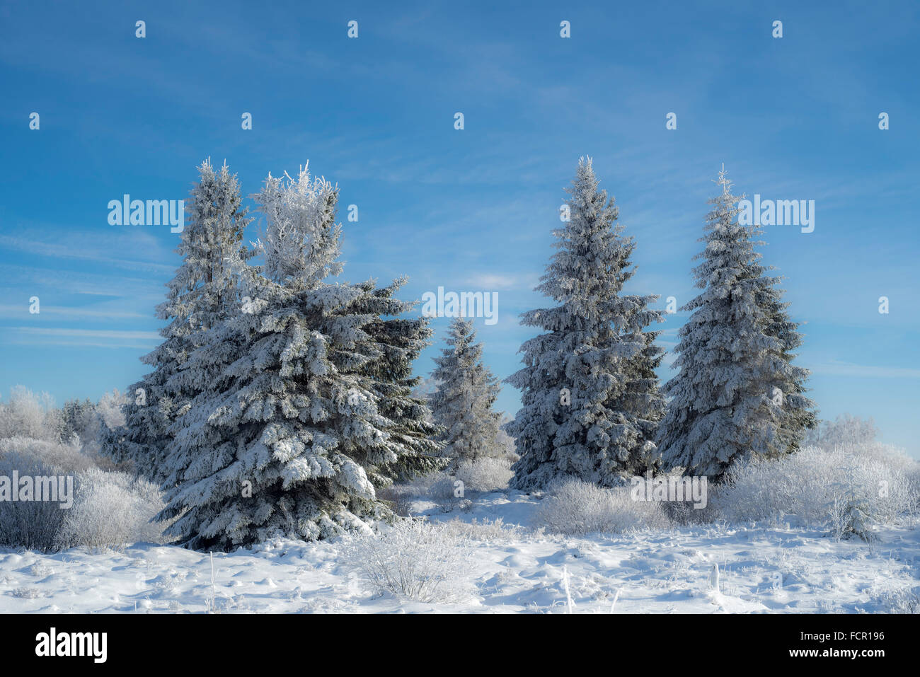 Norway spruces (Picea abies) covered in white frost in moorland in winter - Stock Image