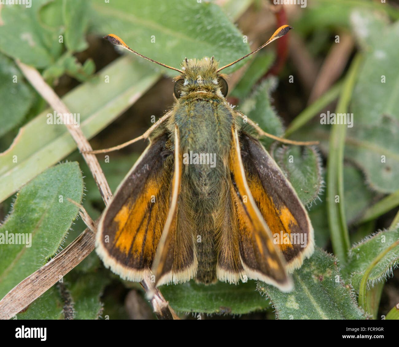 Silver-spotted skipper (Hesperia comma) from above. A well-marked skipper in the family Hesperiidae, showing positions Stock Photo