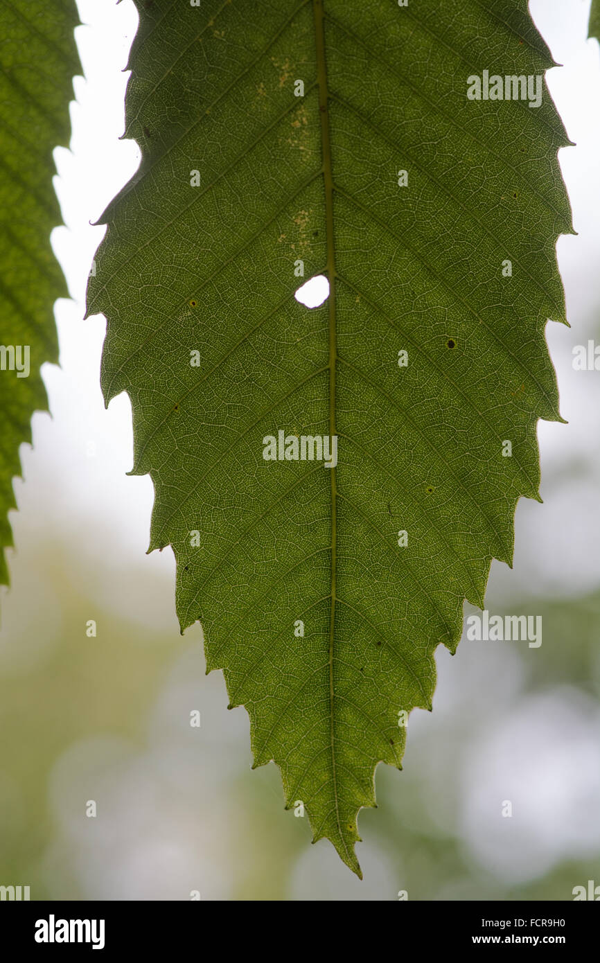 Sweet chestnut (Castanea sativa) leaf. A leaf of a tree in the beech family (Fagaceae), with a hole and light shining - Stock Image