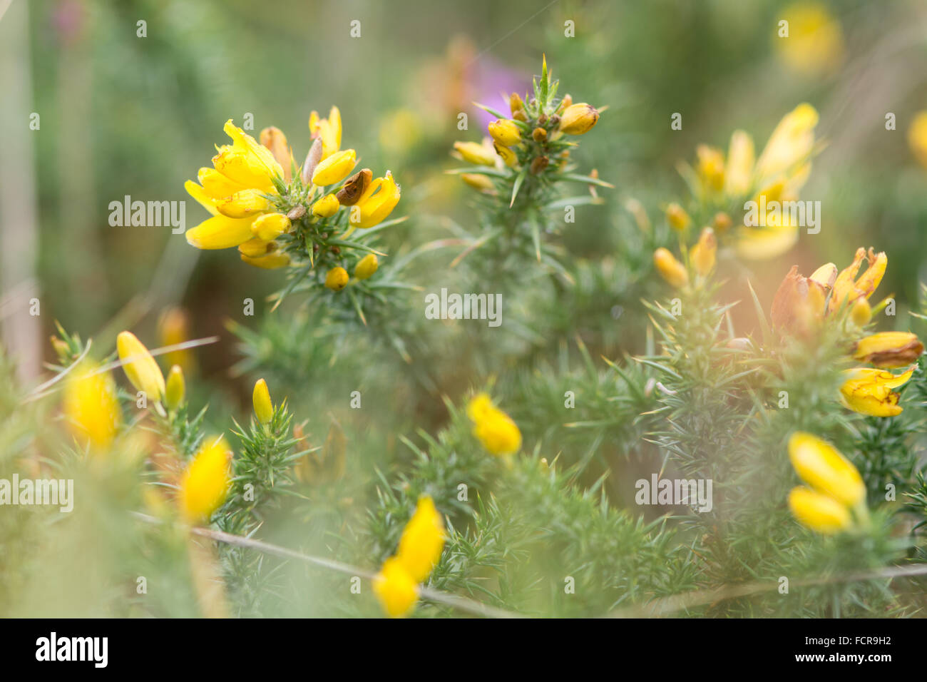 Prickly shrub stock photos prickly shrub stock images alamy western gorse ulex gallii in flower a prickly shrub in the pea family mightylinksfo