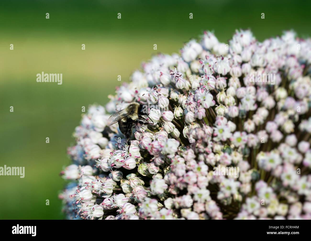Bee on Onion flower, Allium. - Stock Image