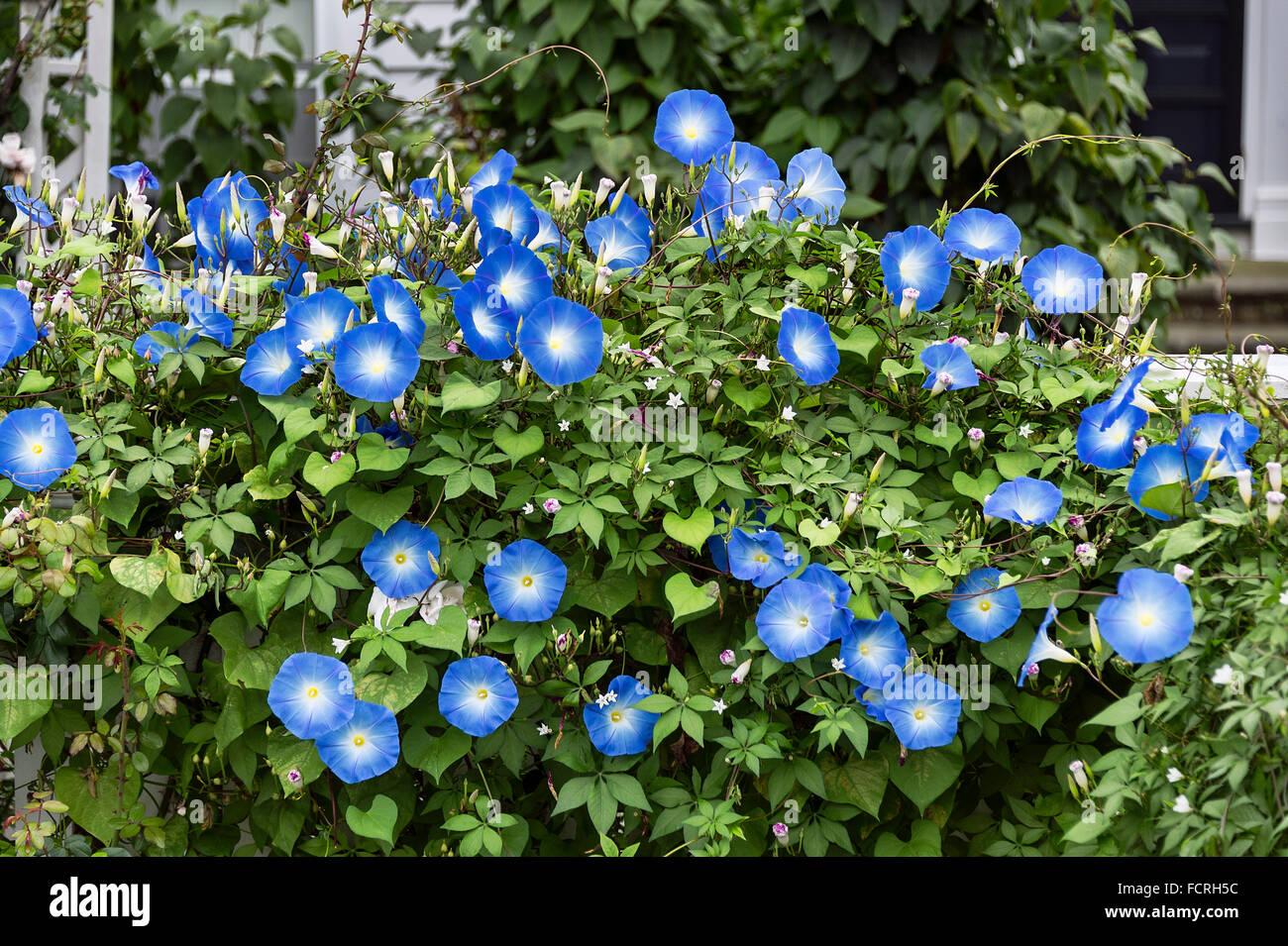 Morning Glory in full bloom. - Stock Image