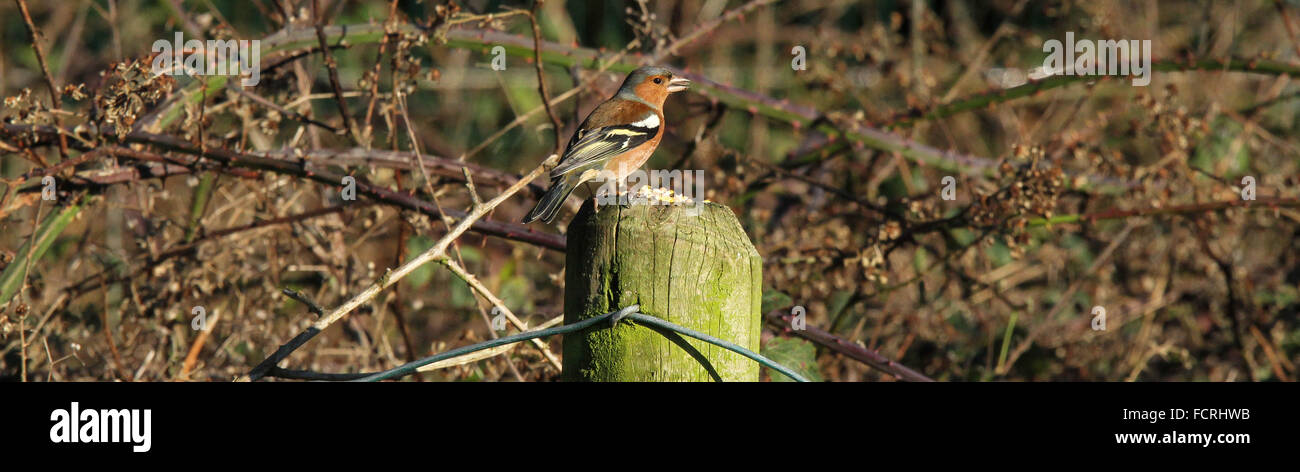 Male chaffinch eating seeds on fence post - Stock Image