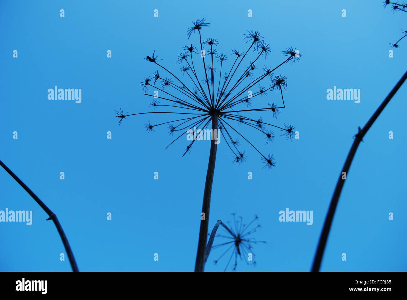 Dried seed pods against a cloudless blue sky - Stock Image