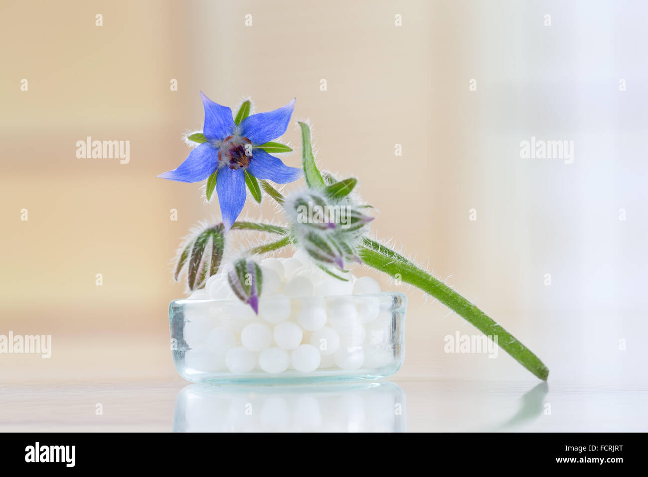 Homeopathy globules with borage flower - Stock Image