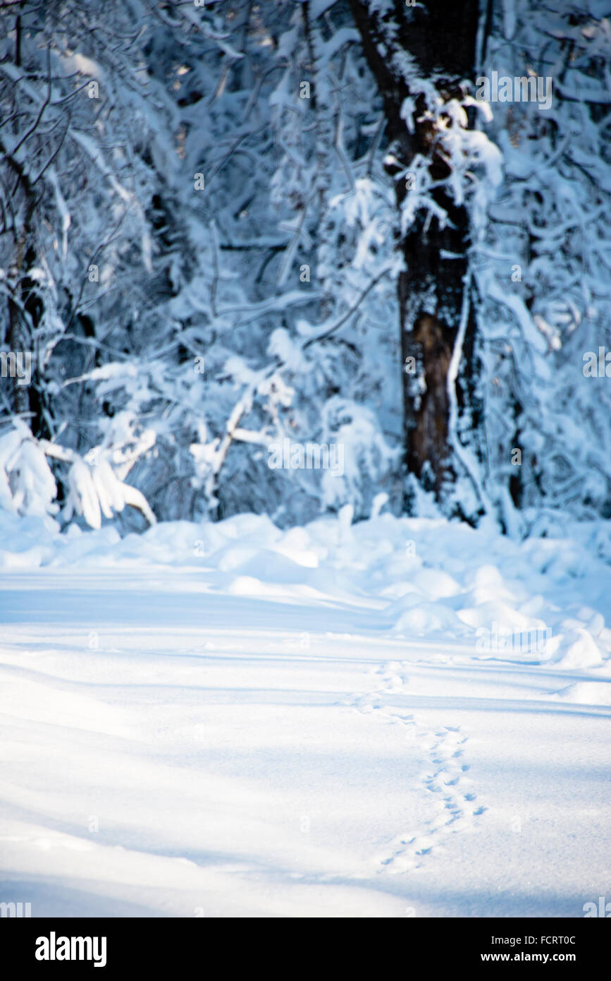 Animal tracks through snow, Ouachita mountains, Arkansas, USA - Stock Image