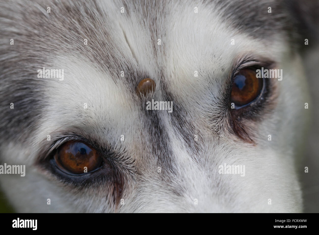 Siberian Husky. Dog. Canis lupus familiaris.  Forehead. Note tick, Ixodes ricinus, embedded on forehead between - Stock Image