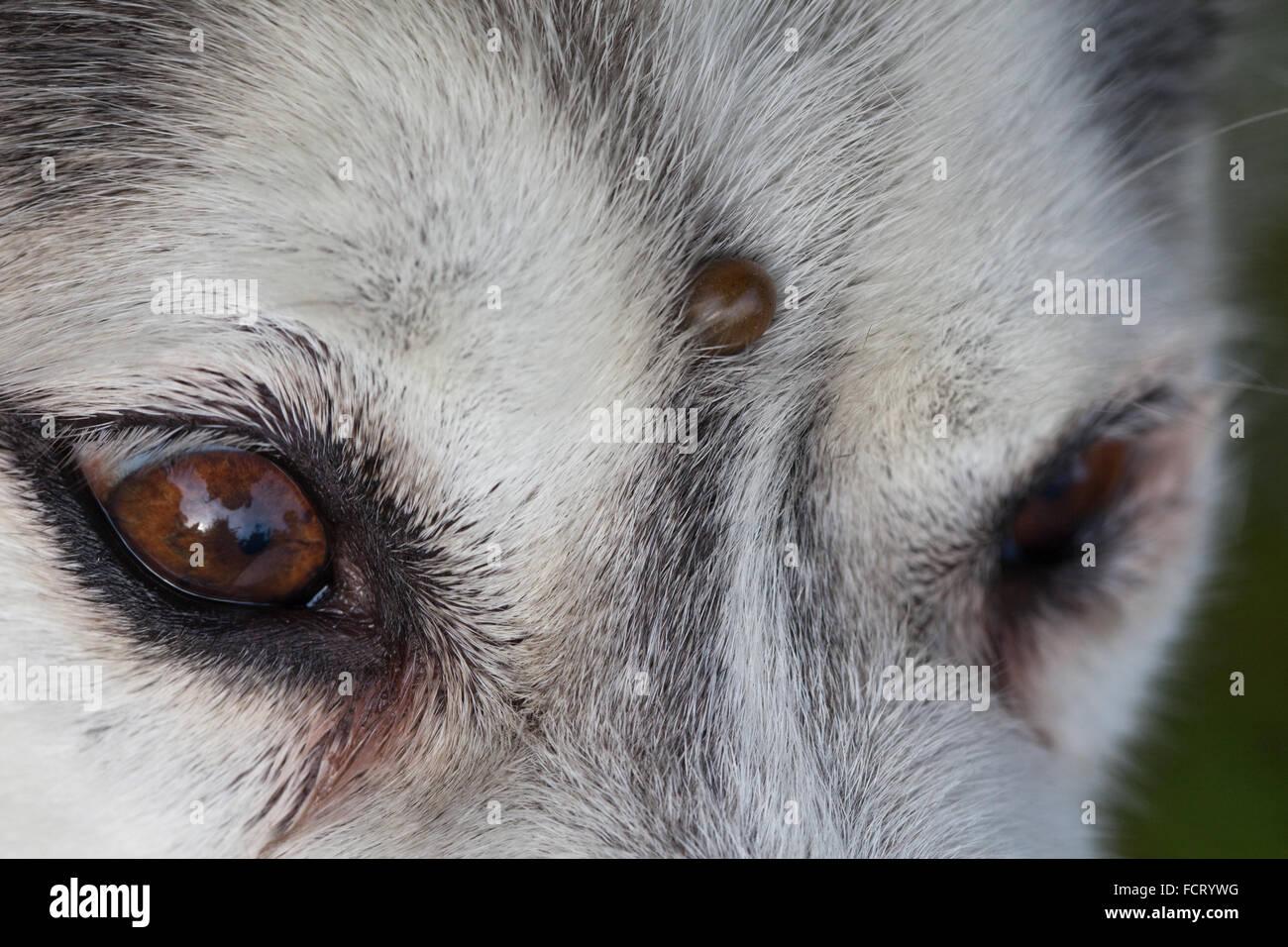 Siberian Husky Dog Canis Lupus Familiaris Forehead