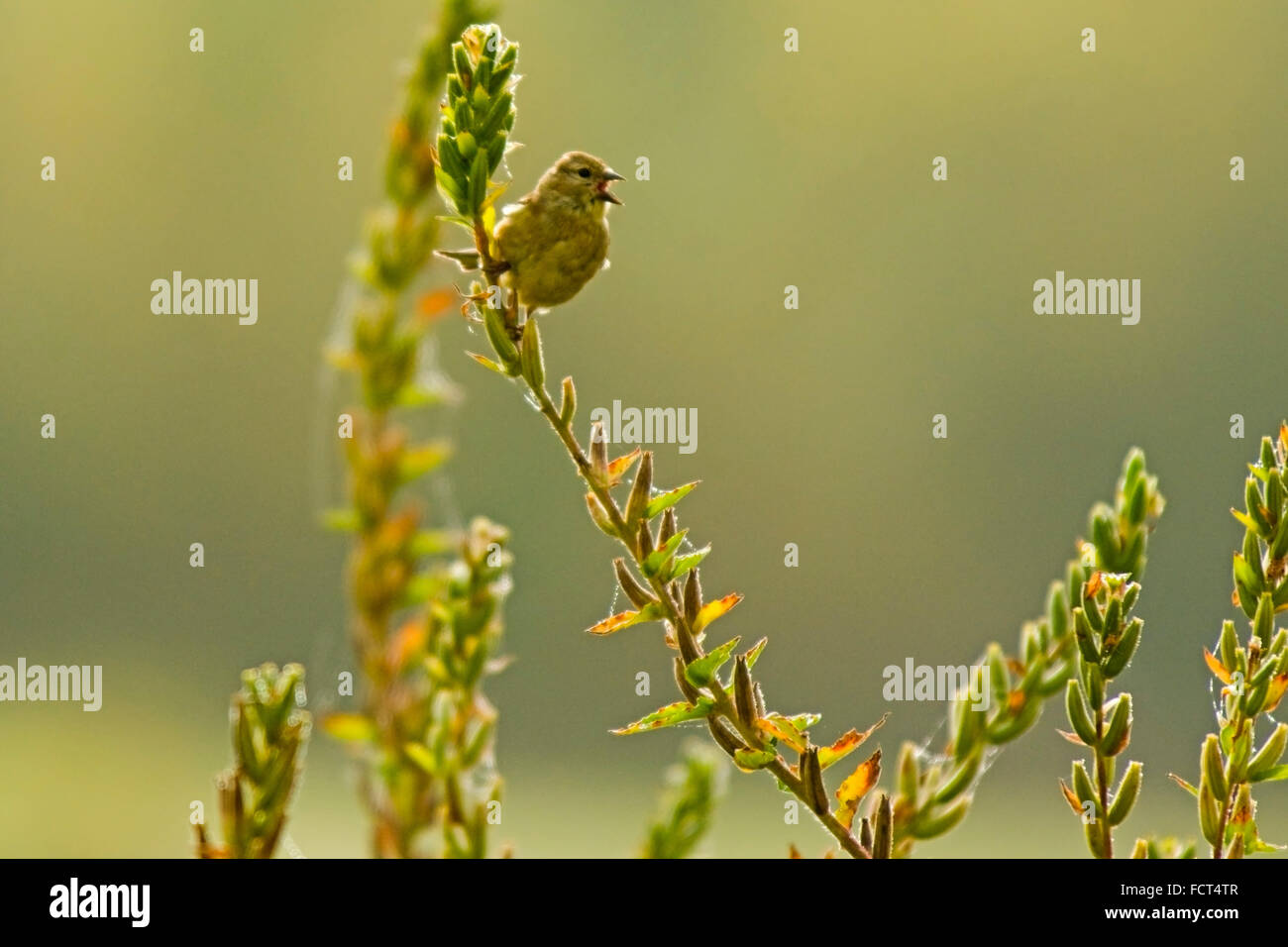 A Nashville warbler (Oreothlypis ruficapilla), singing on the branch of a wild flower. - Stock Image