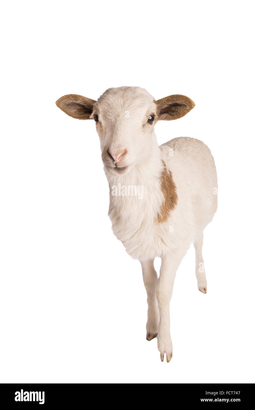 White spotted sheep standing isolated on white background - Stock Image
