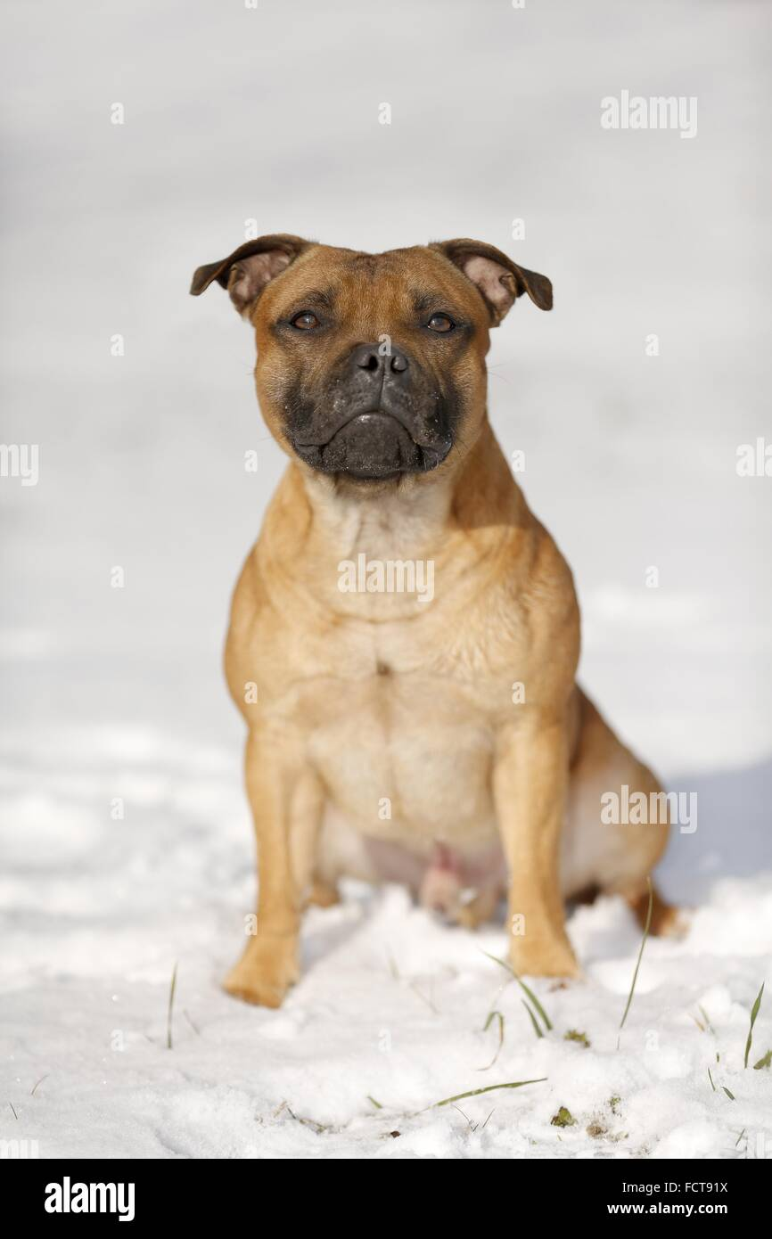 sitting Staffordshire Bullterrier - Stock Image