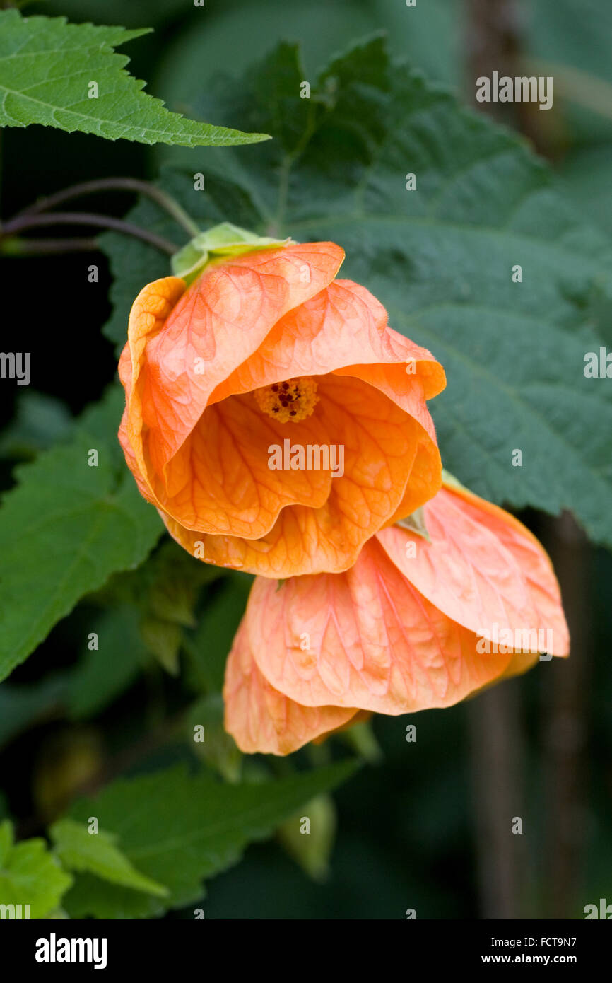 Abutilon 'Orange Glow' flowers in late summer. - Stock Image