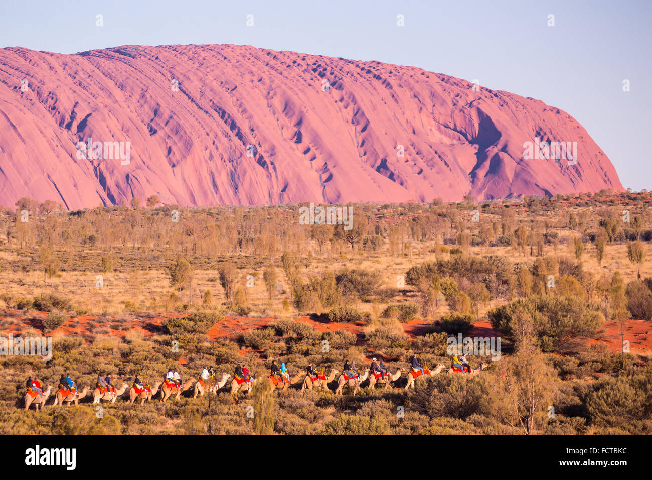 Majestic Uluru and a camel tour on a clear winter's evening sunset in the Northern Territory, Australia - Stock Image
