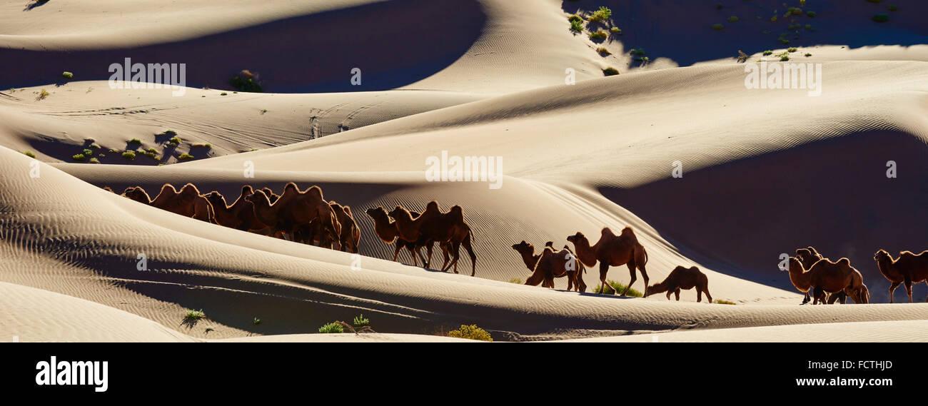 China, Inner Mongolia, Badain Jaran desert, Gobi desert, bactriane camels - Stock Image