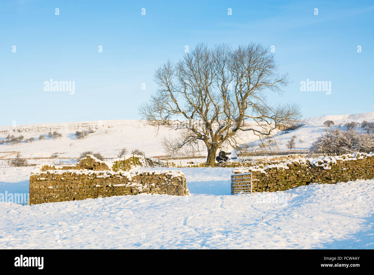 Tree and drystone walls in the snow - Stock Image