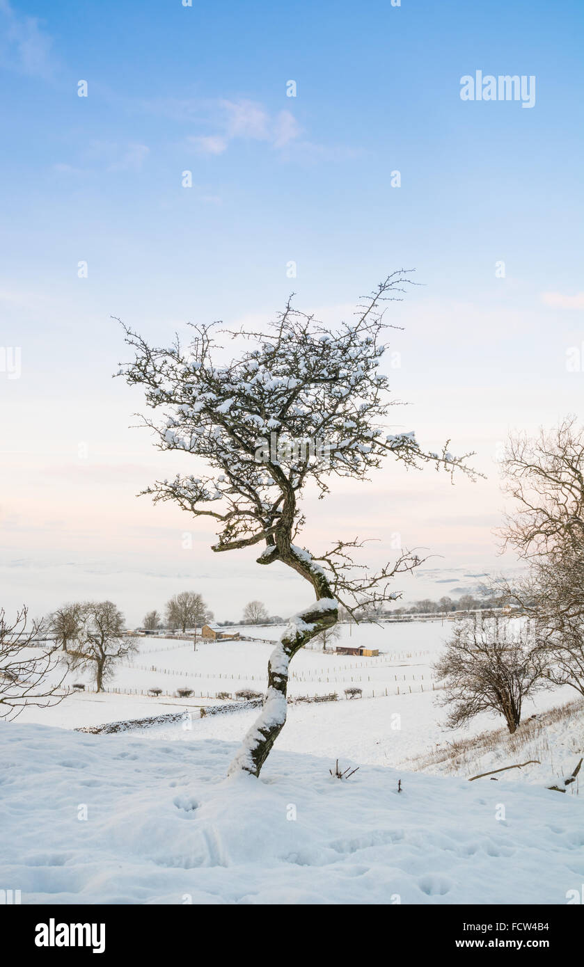 Twisted Hawthorn tree in the snow - Stock Image