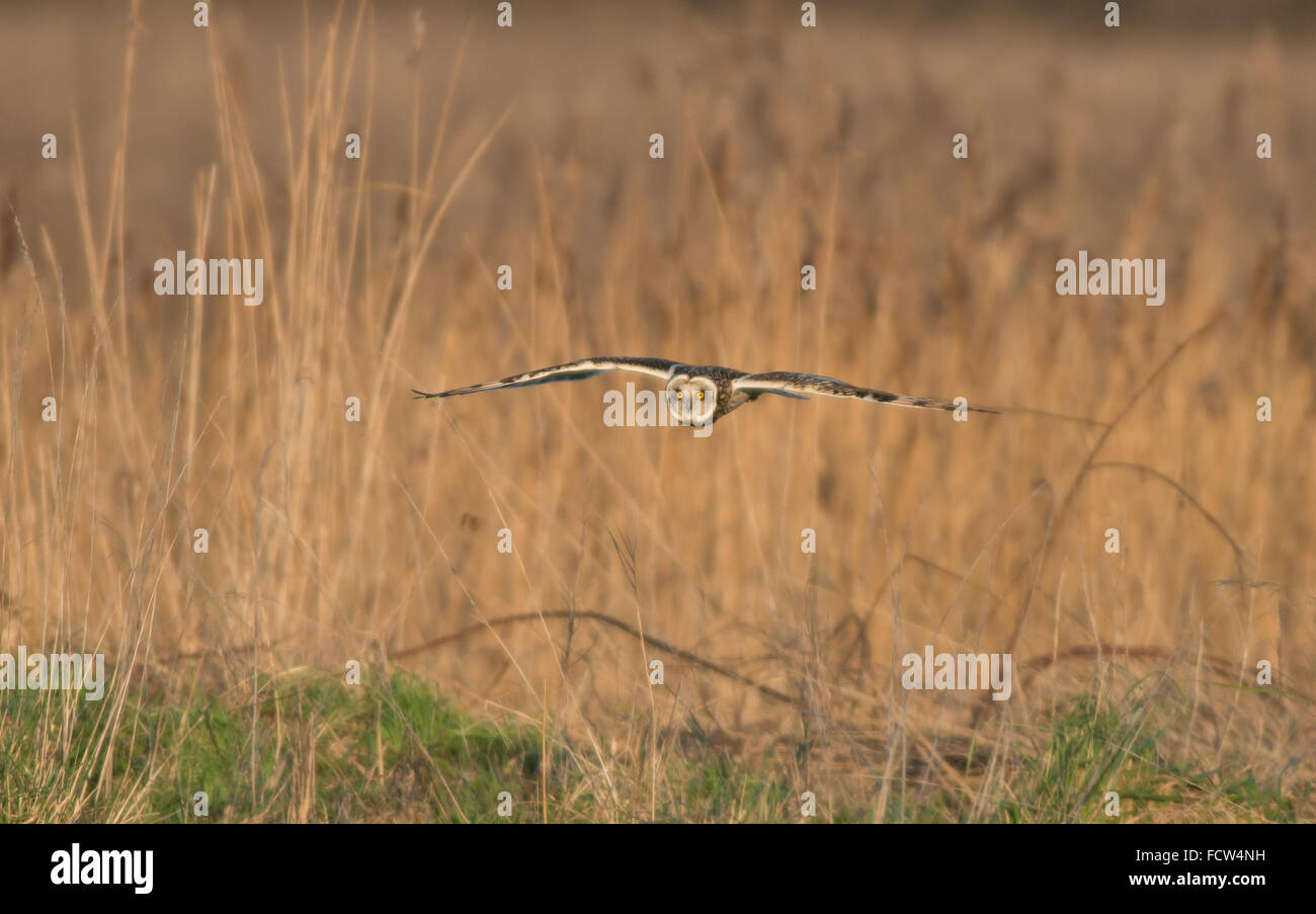 Short-eared Owl-Asio flammeus in flight in search of food. Uk - Stock Image