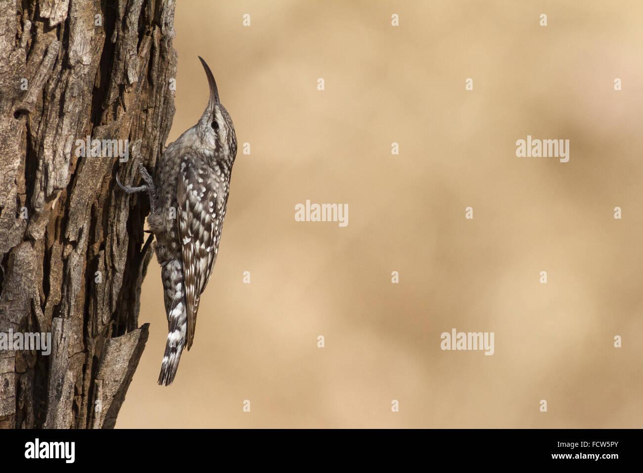 Indian spotted creeper (Salpornis spilonotus) at Dahod, Gujarat, India - Stock Image