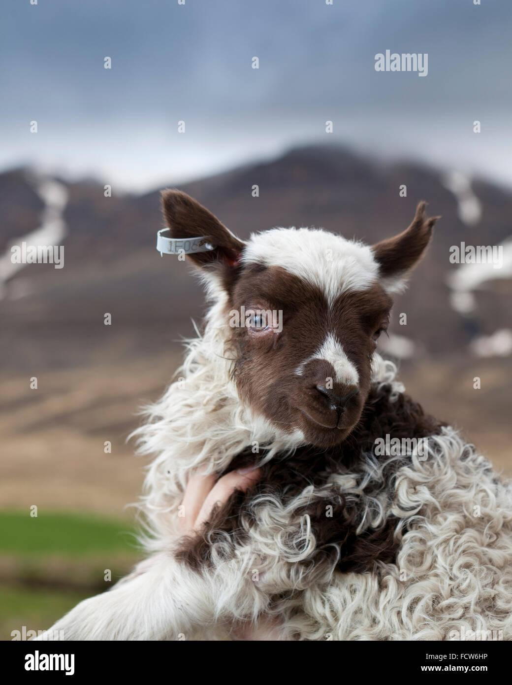Young spring lamb, Audbrekka farm, Horgardalur valley, Iceland - Stock Image