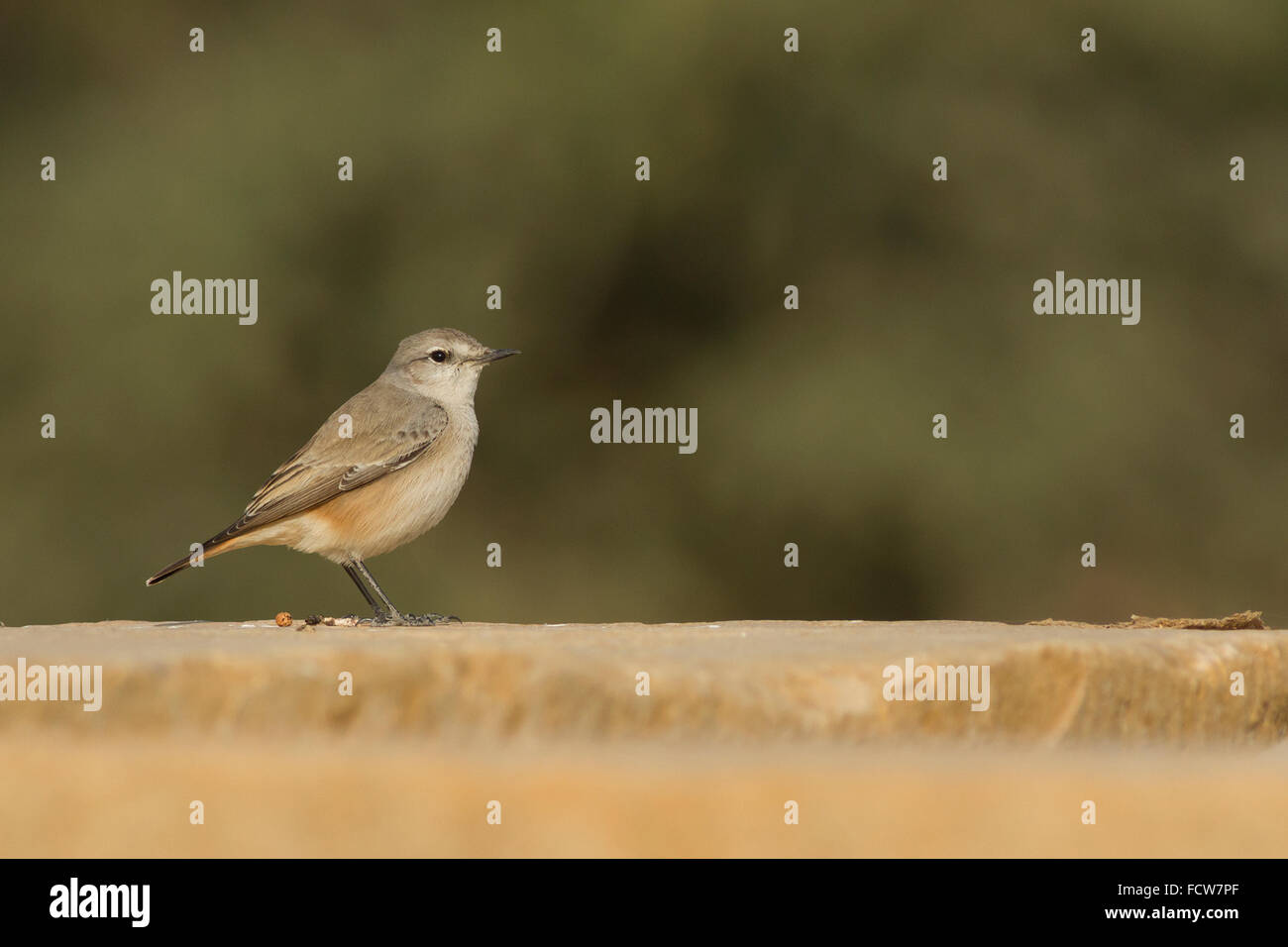 red-tailed wheatear (Oenanthe chrysopygia) at Rajasthan, India - Stock Image