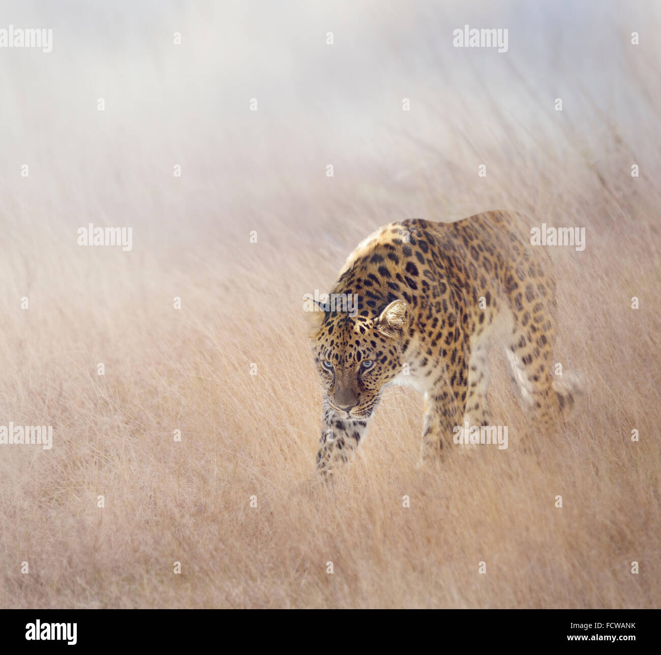 Leopard Walking in The Grass - Stock Image