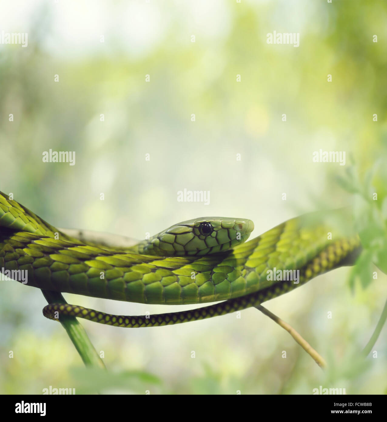Green Mamba on the Branches - Stock Image