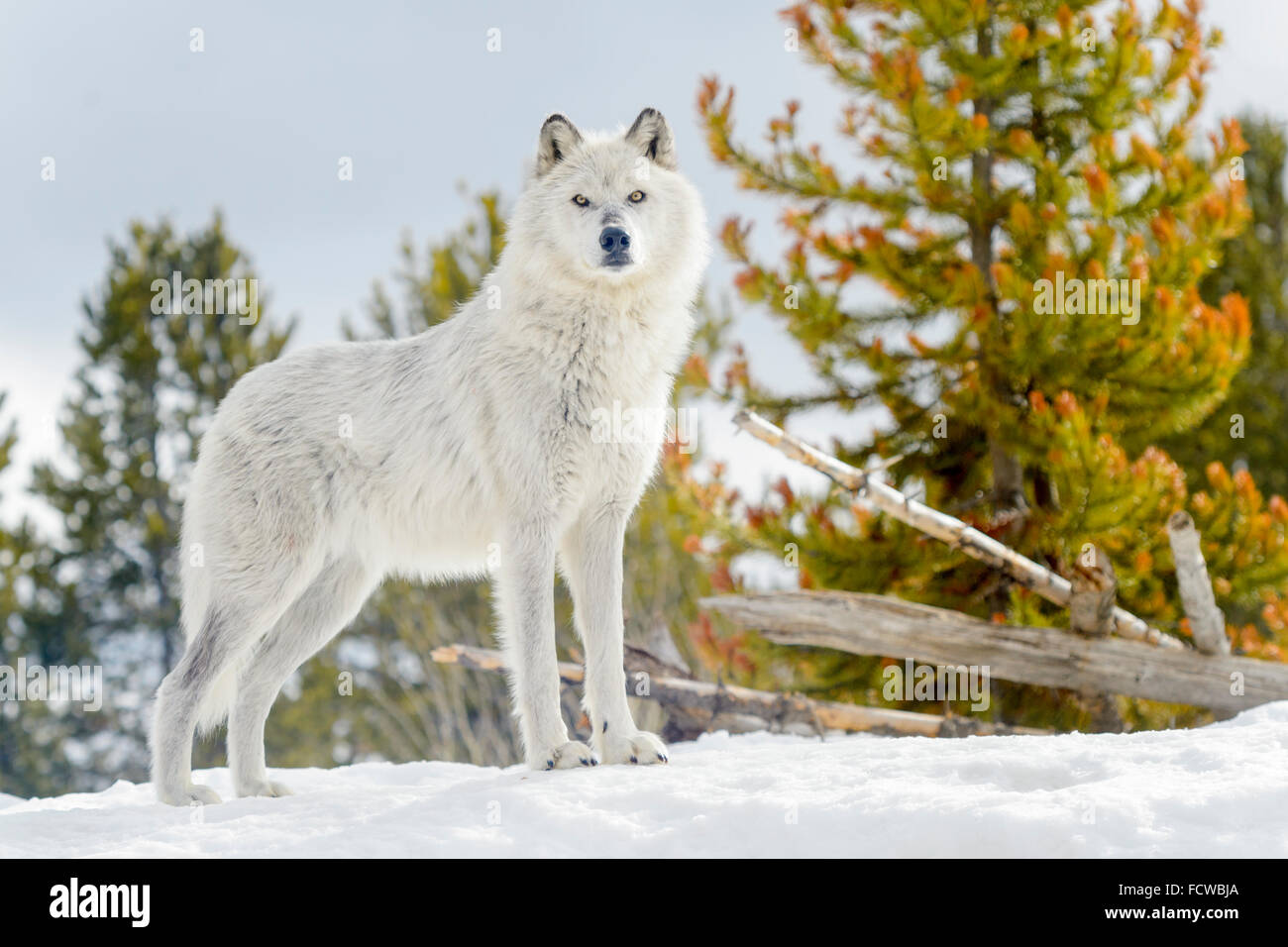 Gray Wolf (Canis lupus) standing in snow, looking at camera, captive, Yellowstone. - Stock Image