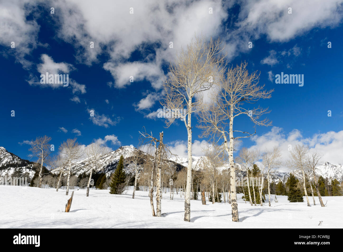 Aspen tree forest in wintertime with blue sky, Grand Teton national park, Wyoming, USA. - Stock Image