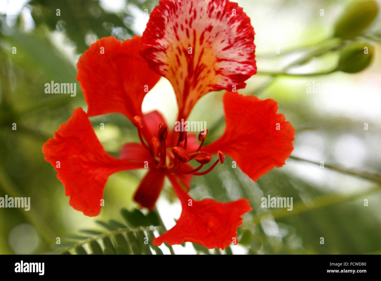 Delonix regia, Gulmohar, Royal Poinciana, deciduous ornamental tree with fern like leaves and red spotted flowers, - Stock Image