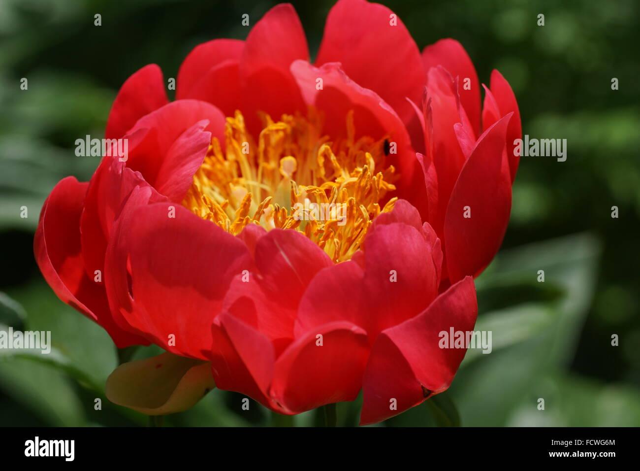 Paeonia lactiflora Coral Magic Stock Photo