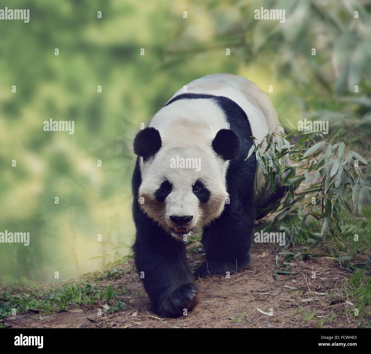 Giant Panda Bear Walking in the Woods - Stock Image