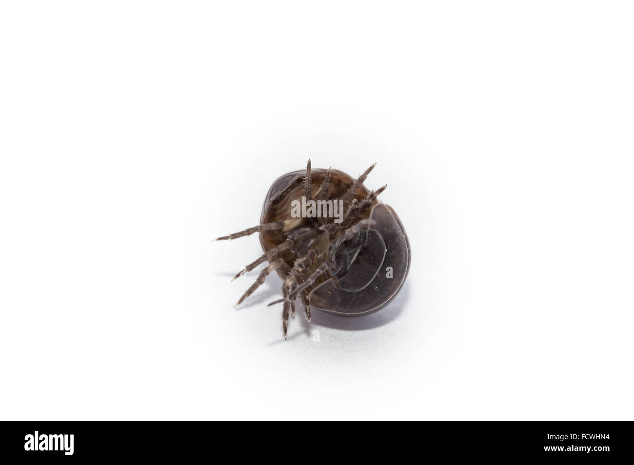Pill Bug coming out of its comfort zone. Stock Photo