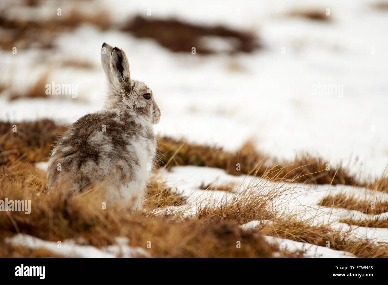 Mountain Hare on a snowy mountain (Lepus timidus) Cairngorm National Park, Scotland, United Kingdom - Stock Image