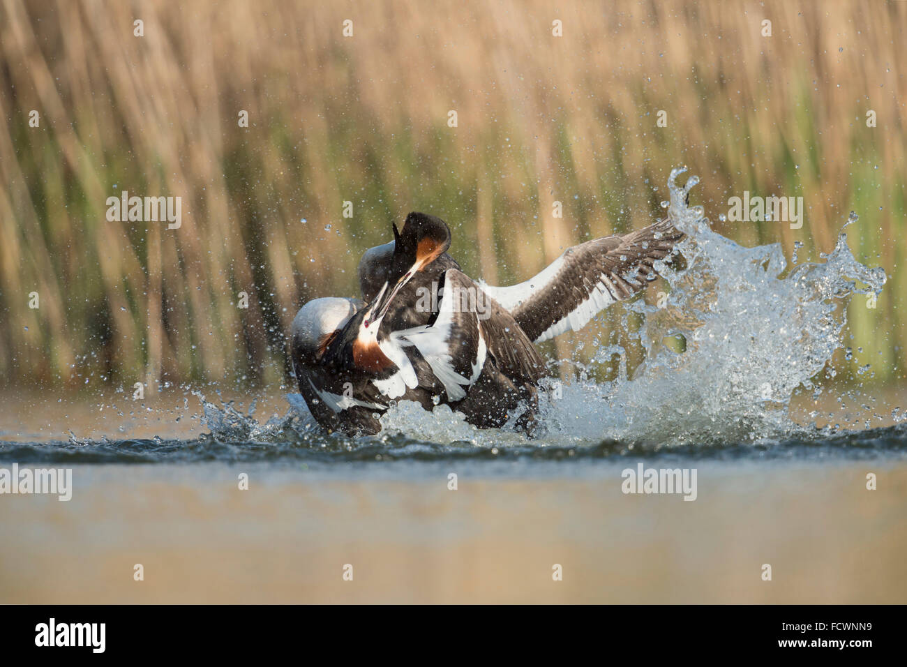 Great Crested Grebes / Haubentaucher ( Podiceps cristatus ) in hard fight, territorial behavior while their breeding - Stock Image